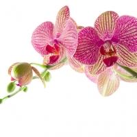 Orchidee in Pink inspiriert die Farbstimmung Radiant Orchid die Farbe des Jahres 2014