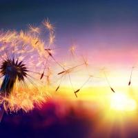 Wandbild Pusteblume Sunshine